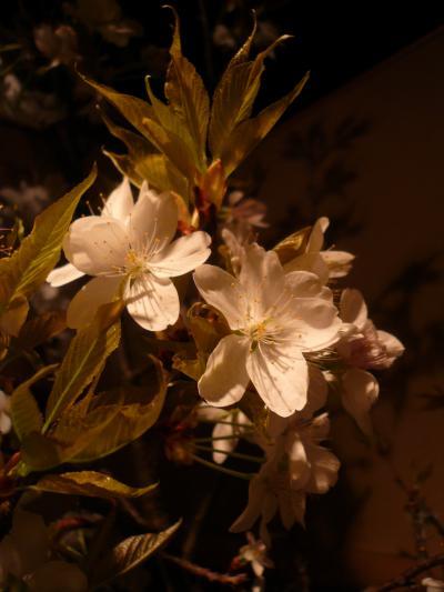 桜(山桜)2