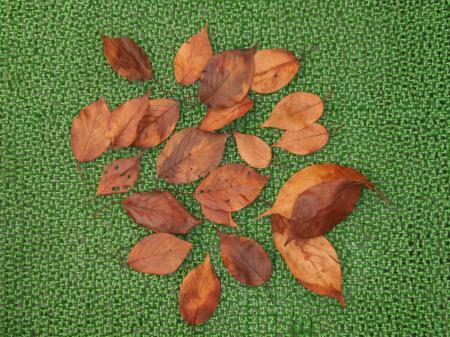 保湿加工の桜の葉