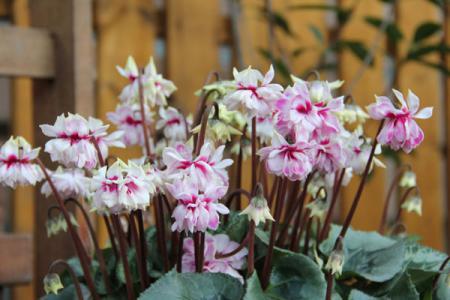 八重咲きシクラメン