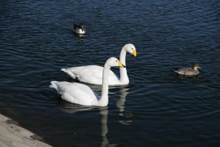 唐桶溜の白鳥