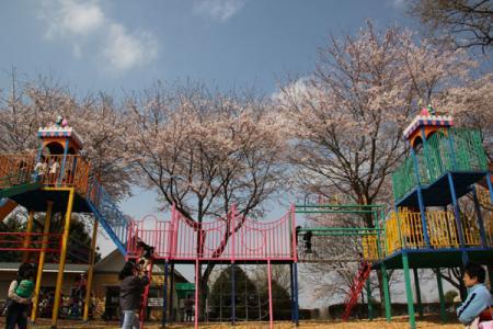 壬生総合公園の桜