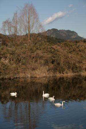 見笹橋の白鳥