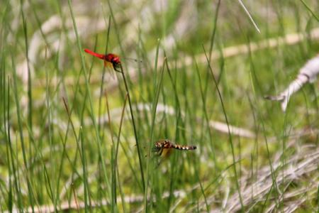 宮床湿原のハッチョウトンボ