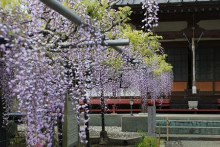 龍蔵寺の藤