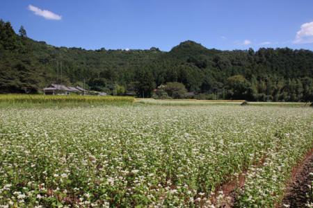 仙波のそば畑