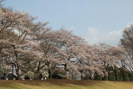 栃木県総合運動公園の桜