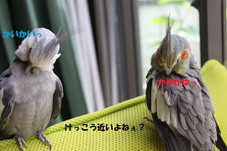 仲良く羽繕いしてます