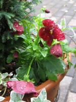よく咲くスミレ クランベリー
