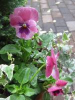 よく咲くスミレ ピーチ