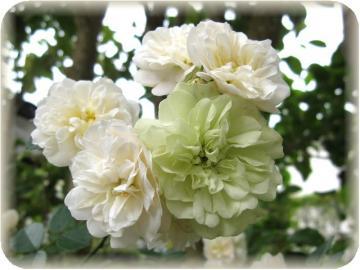 グリーンアイス開花(5/26)