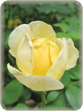 シャルロットまもなく2番花咲きそう(7/5)