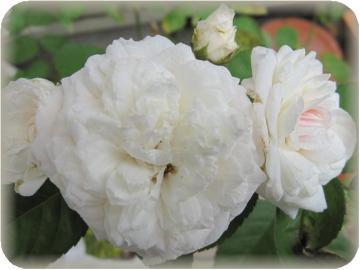 粉粧楼気付けば2番花が咲いてました(7/5)