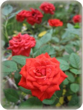 ミニバラバリ2番花大量に開花中(7/5)