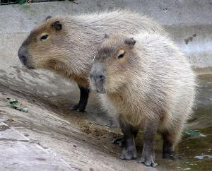 20091025-Capybara.jpg