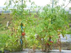 20100731トマト収穫~♪