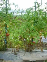 20100731トマト収穫2~♪