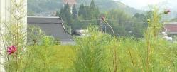 20100826コスモスが咲きました (*^^)v2