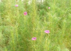 20100826コスモスが咲きました (*^^)v