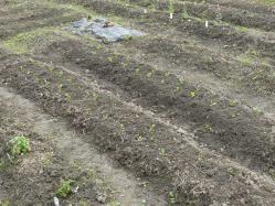 20101114下の畑小松菜