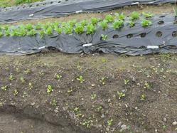 20101114上の畑小松菜