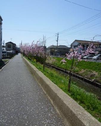 sakura2011006