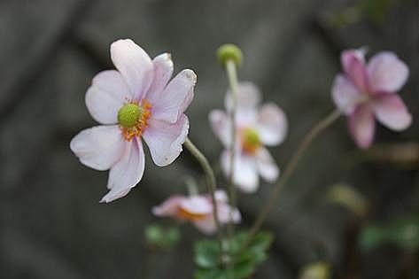 シュウメイ菊♪