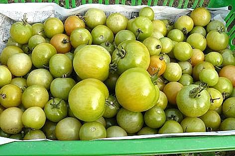 青いトマトを収穫♪