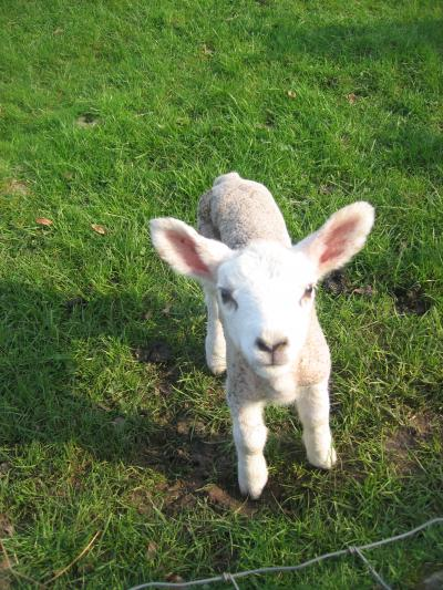 Wee+Lamb_convert_20110515055400.jpg