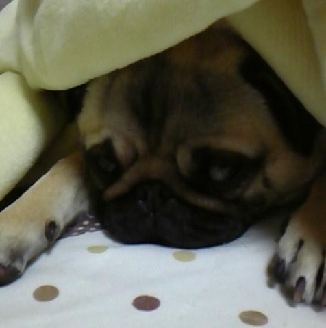 毛布の中でぱったり