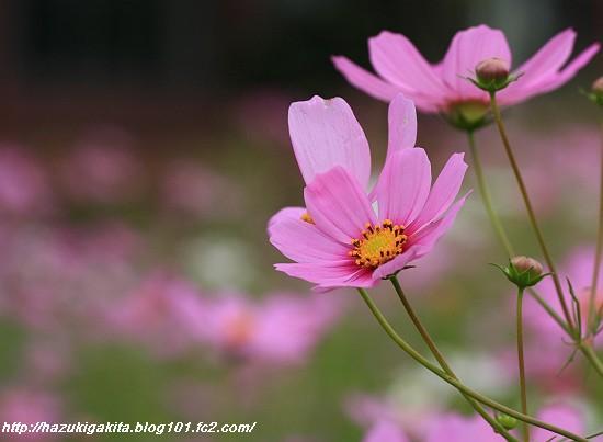 岡東 コスモス1091-s