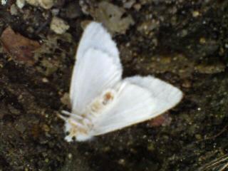ハートの蛾