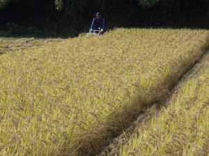 バインダーで稲刈り