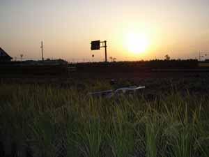 稲刈り夕日
