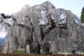 袖之山の枝垂桜11a