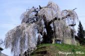 袖之山の枝垂桜21a