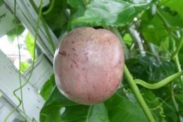 パッションフルーツ完熟果実3