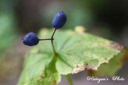 サンカヨウの果実1a