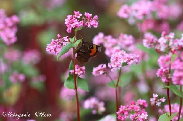 赤ソバに蝶1ba