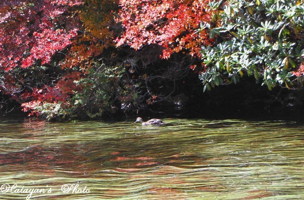 池の紅葉7a