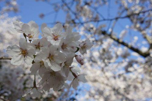 桜さんぽ5