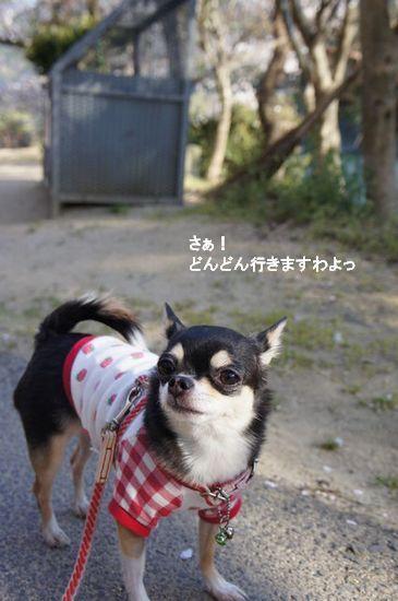 桜さんぽ3