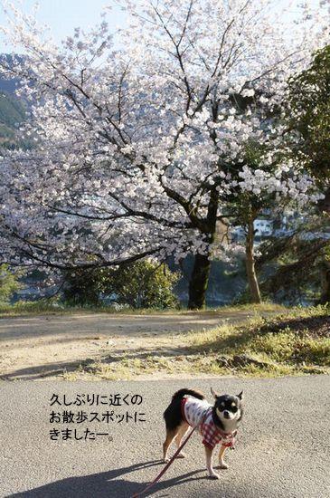 桜さんぽ1