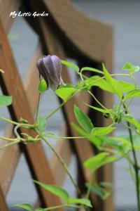 黒花ハンショウヅル