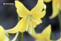 黄色カタクリ