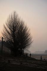 Big ginkgo trees_2