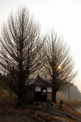 Big ginkgo trees_7
