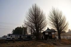 Big ginkgo trees_8