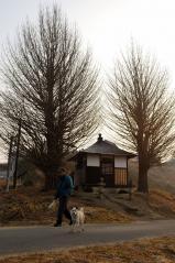 Big ginkgo trees_9
