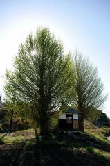Big ginkgo trees_24