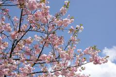 Cherry blossoms_13